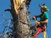 MR GREEN - Abbattimento Pinus Halepensis - Porto Recanati