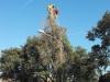 MR GREEN - Abbattimento pino pericolante