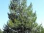 Pinus Halepensis Recanati