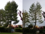 Pinus Halepensis Sirolo