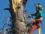 Abbattimento Pinus Halepensis Secolare Pericoloso - Porto Recanati