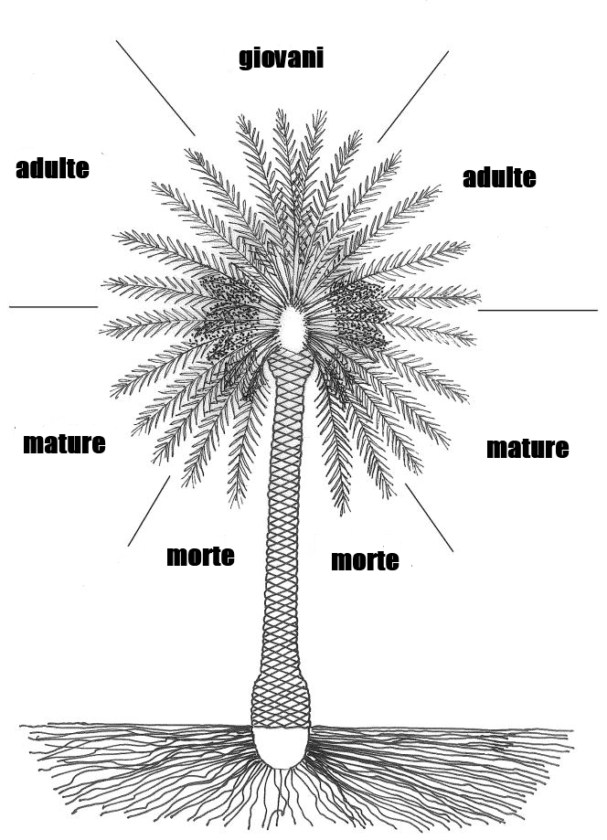 Palme - Radici palma ...